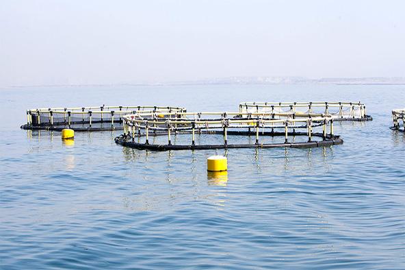 فاز نخست طرح پرورش ماهی در قفس استان بوشهر افتتاح میشود