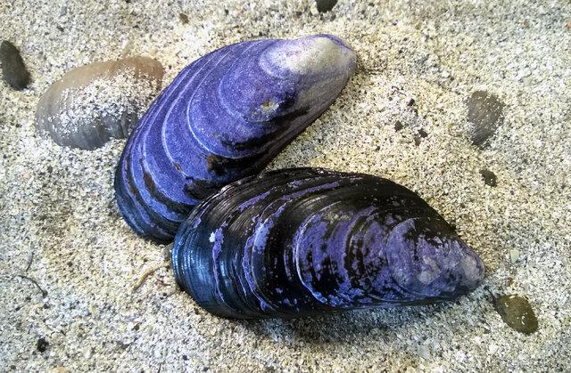 میکروپلاستیکها، صدفهای دریایی را از بین میبرند